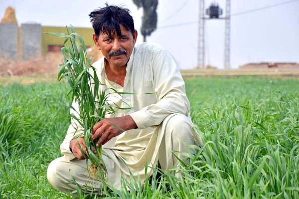 'Pakistan's wheat farmers saved  by timely weather forecast'